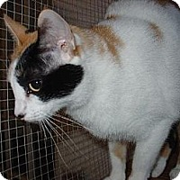 Calico Cat for adoption in Los Angeles, California - Cassidy