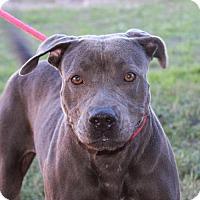 Adopt A Pet :: A308647 Daisy - San Antonio, TX