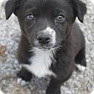 Adopt A Pet :: Caesar