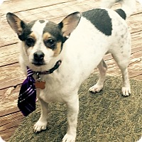 Chihuahua/Terrier (Unknown Type, Small) Mix Dog for adoption in Garland, Texas - Briley