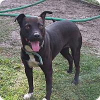 Adopt A Pet :: Sheba - Snow Hill, NC
