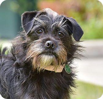 Standard Schnauzer/Norfolk Terrier Mix Dog for adoption in Marina Del Ray, California - TAZZY