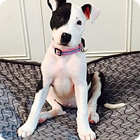 Pit Bull Terrier Mix Puppy for adoption in Staten Island, New York - Hailey