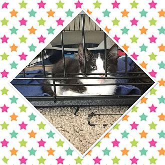 Domestic Shorthair Kitten for adoption in Cedar Springs, Michigan - Smudge