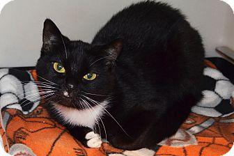 Domestic Shorthair Cat for adoption in Lincoln, Nebraska - Nimmy