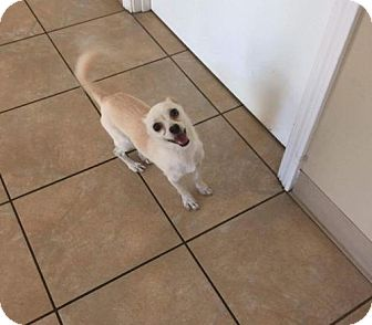Chihuahua/Shih Tzu Mix Dog for adoption in Sayville, New York - Whitey