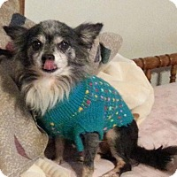 Chihuahua Dog for adoption in DuQuoin, Illinois - Owen