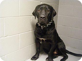 Mastiff/Labrador Retriever Mix Dog for adoption in Winnipeg, Manitoba - Dozer
