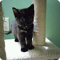Adopt A Pet :: Torre - Whitehall, PA