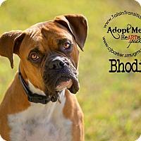 Adopt A Pet :: Bhodi - Friendswood, TX