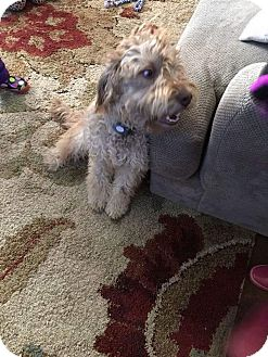 Labradoodle Mix Puppy for adoption in Sparta, New Jersey - Mocha#2