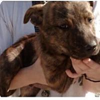 Adopt A Pet :: Odin - Manchester, NH