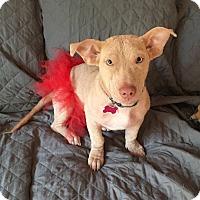 Adopt A Pet :: Blondie - Mount Laurel, NJ