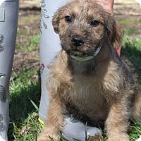 Adopt A Pet :: LeeLee~meet me!~ - Glastonbury, CT