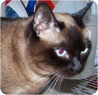 Siamese Cat for adoption in Union, Kentucky - Kyleigh
