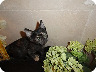 Domestic Shorthair Kitten for adoption in Phoenix, Arizona - Cady