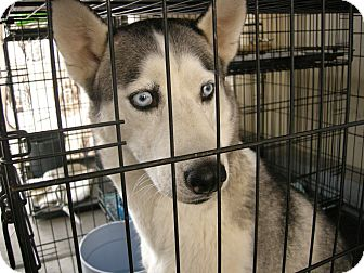 Siberian Husky Mix Dog for adoption in Las Vegas, Nevada - Amanda