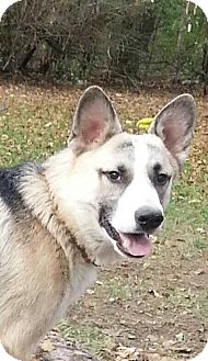 Husky/Shepherd (Unknown Type) Mix Puppy for adoption in Silver Lake, Wisconsin - Cameron