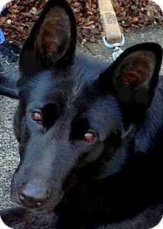 German Shepherd Dog Mix Dog for adoption in Bluff city, Tennessee - HALEY-PRECIOUS!