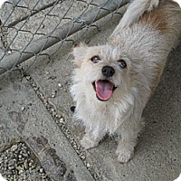 Terrier (Unknown Type, Medium) Mix Dog for adoption in Sherman Oaks, California - Bel