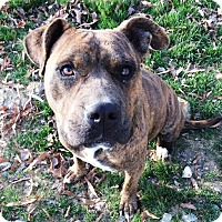 Boxer/Pit Bull Terrier Mix Dog for adoption in Monroe, North Carolina - BabyGirl