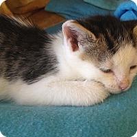 Adopt A Pet :: Chelsea - Island Park, NY