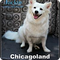 Adopt A Pet :: Jackie 2 - Elmhurst, IL