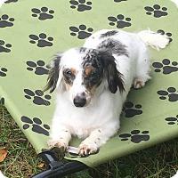 Adopt A Pet :: Daisy Mae - Marcellus, MI