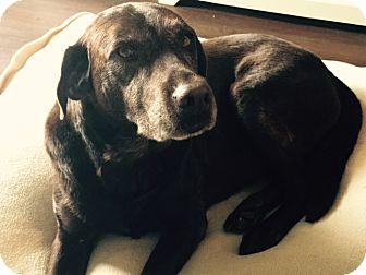 Labrador Retriever Dog for adoption in Cumming, Georgia - Brandy