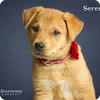 Adopt A Pet :: Serenity - Chandler, AZ
