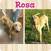 Adopt A Pet :: Rosa - Fayetteville, AR
