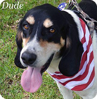 Treeing Walker Coonhound/Treeing Walker Coonhound Mix Dog for adoption in Lake Pansoffkee, Florida - Dude