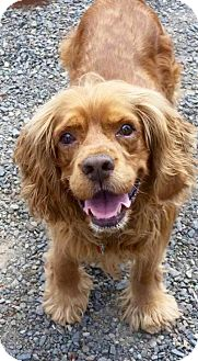 Cocker Spaniel Dog for adoption in Flushing, New York - Rusty