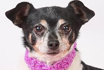 Chihuahua Dog for adoption in Colorado Springs, Colorado - Salsa