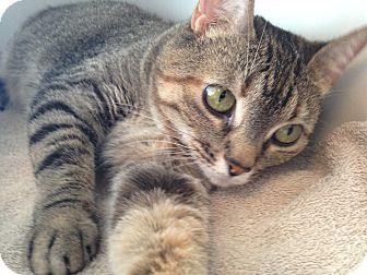 Domestic Shorthair Cat for adoption in Nashville, Tennessee - Minnie