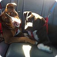 Adopt A Pet :: Parker - Bedford, TX