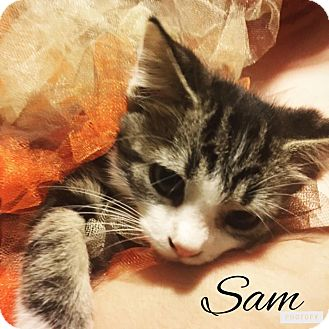 Domestic Mediumhair Kitten for adoption in Zanesville, Ohio - Sam