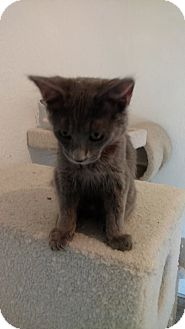 Domestic Shorthair Kitten for adoption in El Paso, Texas - Bane