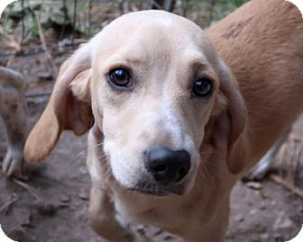 Beagle/Dachshund Mix Dog for adoption in Union, Connecticut - Dazzle