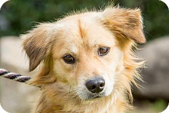 Cocker Spaniel/Golden Retriever Mix Puppy for adoption in San Diego, California - Canelo