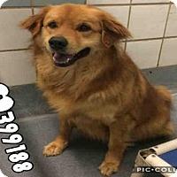Adopt A Pet :: BISQUIT - San Antonio, TX