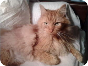 Maine Coon Cat for adoption in Columbus, Ohio - Dusty