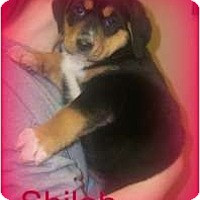 Adopt A Pet :: SHILOH - Southport, NC