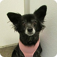 Adopt A Pet :: Trixie - Gilbert, AZ