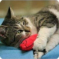 Adopt A Pet :: Kitty Whiskers - Chicago, IL