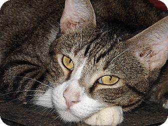 Domestic Shorthair Cat for adoption in Mesa, Arizona - Redford