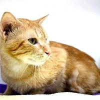 Domestic Shorthair Cat for adoption in Sebastian, Florida - Soloman
