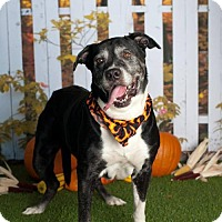 Mastiff/Labrador Retriever Mix Dog for adoption in Glendale, Arizona - Capone