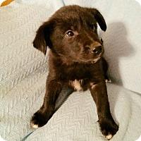 Adopt A Pet :: Dutch - Hillsboro, IL