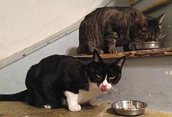Domestic Shorthair Cat for adoption in Philadelphia, Pennsylvania - Baby & Beebee